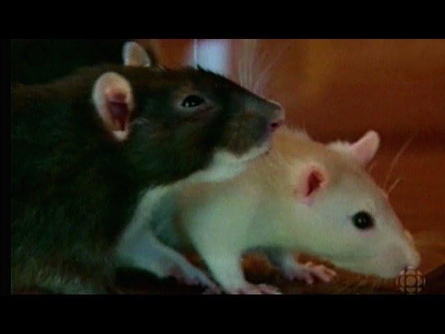 Oferta Pana Alberta – Szczury