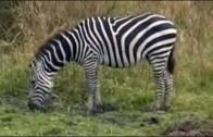 Czas zwierząt – Zebra + Pawian, dla dzieci