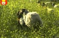 Czas zwierząt – Owca + Ćma jedwabników, dla dzieci
